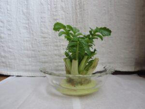 大根の葉っぱの水耕栽培の成長過程の8日目