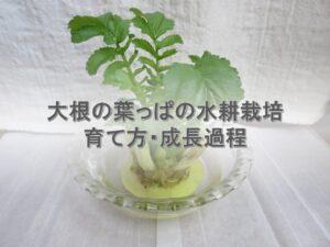 大根の葉っぱの水耕栽培「楽しい・おいしい・得」ズボラの育て方とその成長過程